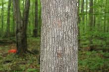ironwood trunk